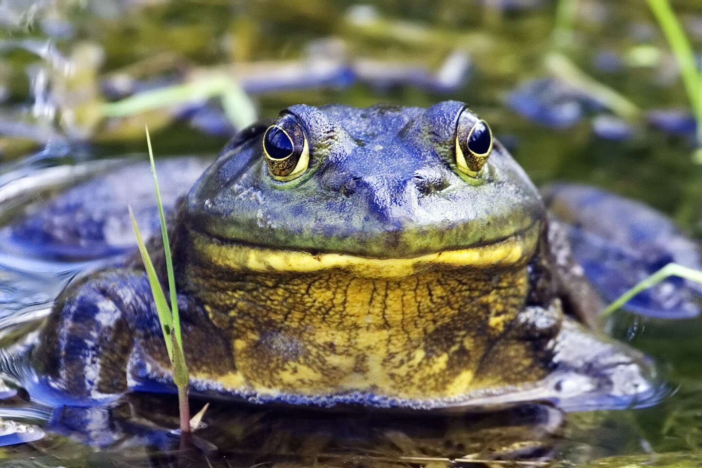 Frog in the Everglades stock image. Image of toad, jump - 2264761